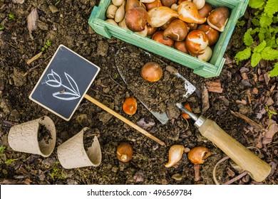 garden bulbs. Flower Bulbs And Garden Accessories For Planting. Gardening.