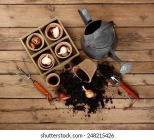 Flower bulbs, pots on wooden table