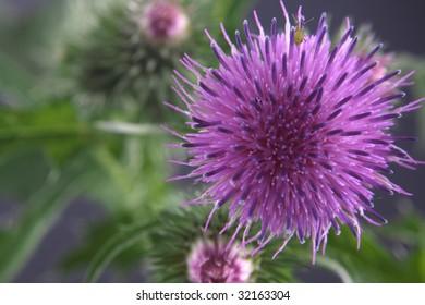 Flower of a burdock close up on a dark background.
