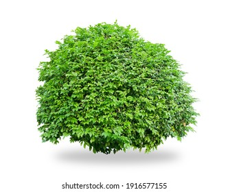Flower bush tree isolated tropical plant with clipping path.