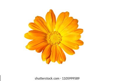 Flower of calendula on a white background, marigold.