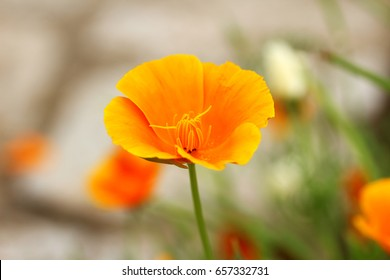 Flower of Californian poppy (Eschscholzia californica). California Poppy is a common plant in North and South America that has some traditional usage as a sedative and anxiolytic when made as a tea.
