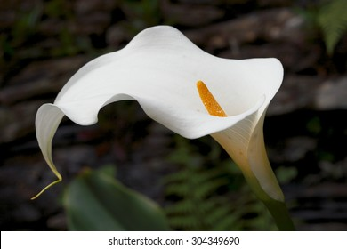 Flower calla, spring, background, flowers, flower, nature, floral, garden, summer, beautiful, landscape, pink, blossom, white, tree, green, sun, field, season, beauty, natural, plant, botany, blooming