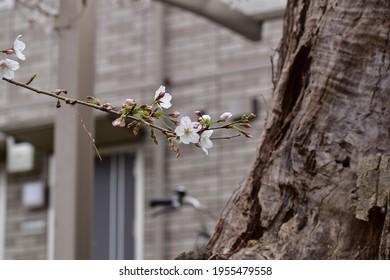 桜という花