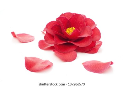 flower of camellia and petals