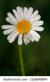 A flower of a camomile in droplets of dew early in the morning in a field