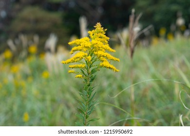 flower of Canada goldenrod - Solidago altissima - is blooming in a field.