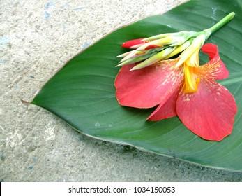 Lucifer stock photos images photography shutterstock flower canna indica linn or butsarana bunga tasbih cannaceae on leaf ccuart Images