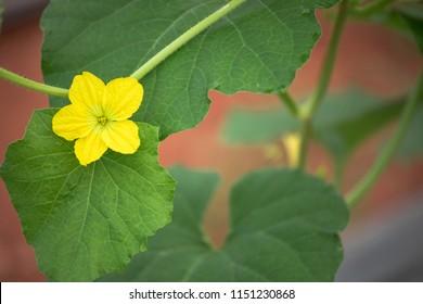 Flower of cantaloupe fruit plant