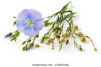 Flower and capsules with seed flax (Linum usitatissimum) common names common flax or linseed on a white background with space for text.