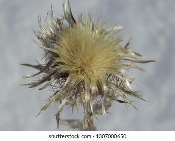 flower of Carline thistle, Carlina vulgaris,