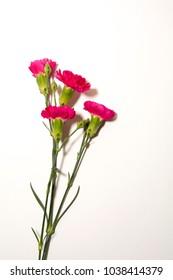 flower carnation celebration