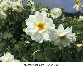 Flower carpet roses backgrounds images stock photos vectors flower carpet white rose white flower baguio flower white dahlia mightylinksfo