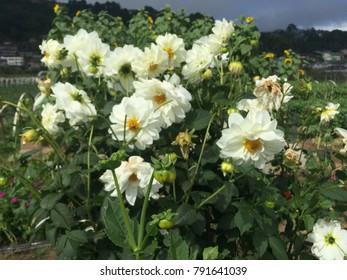 Flower carpet white rose white flower stock photo royalty free flower carpet white rose white flower baguio flower white dahlia mightylinksfo