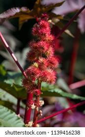 Flower castor bean