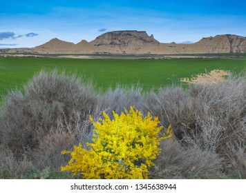 Flower and cereal plantation in the Bardenas with the desert zone in the background, Navarra