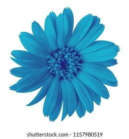 flower cerulean calendula, isolated on a white  background. Close-up. Element of design.