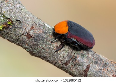 Flower chafer - Pachnoda thoracica