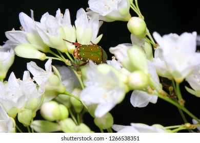 Flower chafers, fruit chafers, flower beetles, flower scarabs, Glycyphana nicobarica, Scarabaeidae on flowers habitat.