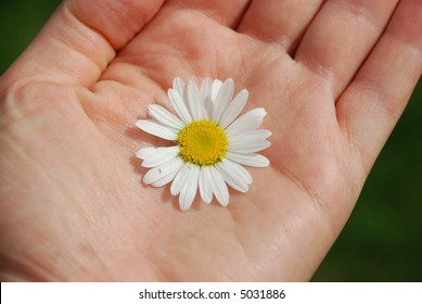 A flower Chamomile on the hand