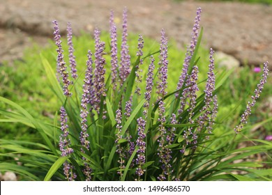 Liriope muscari Flower, a charming purple flower.