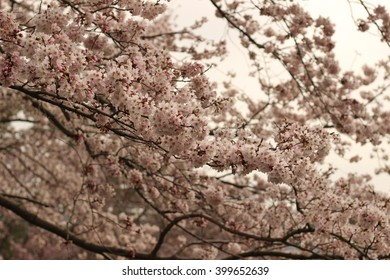 The flower of a Cherry blossom