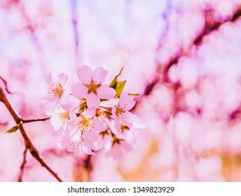 Flower cherry blossom tree branch