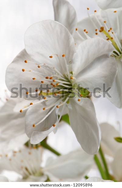 Flower of a cherry photographed close up