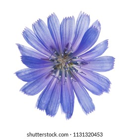 Flower chicory isolated on white background. Close-up of a plant photographed from above has curative properties