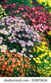 Flower, chrysanthemum