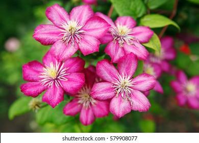 flower clematis pink