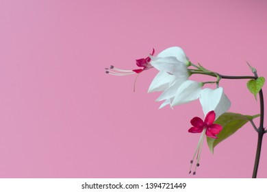 Flower Clerodendrum thomsoniae on a pink background, high contrast, close-up, bright natural colors.