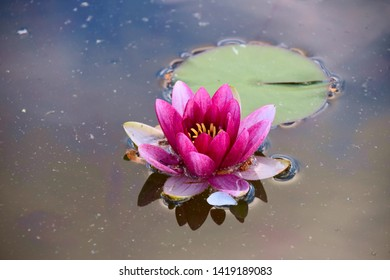 Flower close up - Nymphaea red star