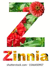Flower collage. Capital letter Z of leaves and flowers of zinnia on a white background. The Inscription Zinnia