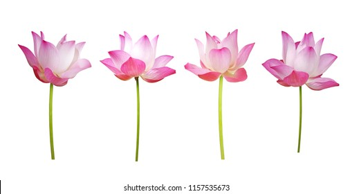 Flower. Collection Pink lotus blooming. isolated on white background.  (clipping path)