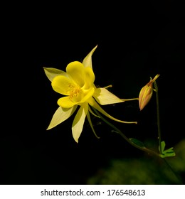 Flower columbine in a garden closeup (Aquilegia)