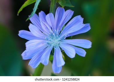 flower of Common chicory, Cichorium intybus, wild chicory.