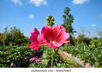 Flower of a Common Hollyhock (Alcea rosea). Hollyhock flower or Alcea rosea, close up blurred background. Red hollyhock flower in garden with blue sky.