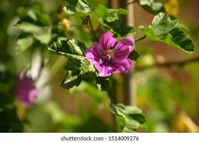 flower of common mallow also called malva sylvestris in late summer, pink cheeses or mauve flower in botanical garden
