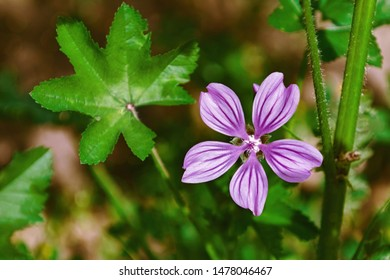 Flower of Common Mallow (Malva Sylvestris, Family of Malvaceae)