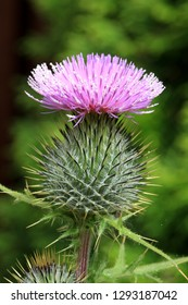 Flower of the common thistle, cirsium vulgare, Dumfries, Scotland