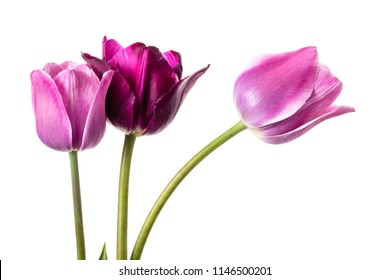 Flower composition with tulips isolated on a white background