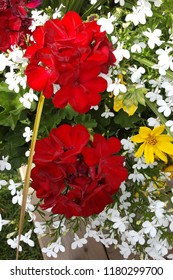 Flower container overflowing with beautiful red geraniums, white lobelia, and yellow coreopsis.