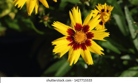 "The flower, Coreopsis Grandiflora ""SunKiss"" in the sun just after a rain shower"