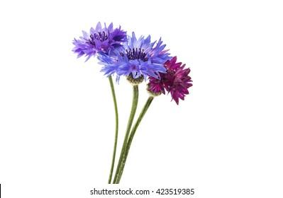 flower cornflower isolated on white background