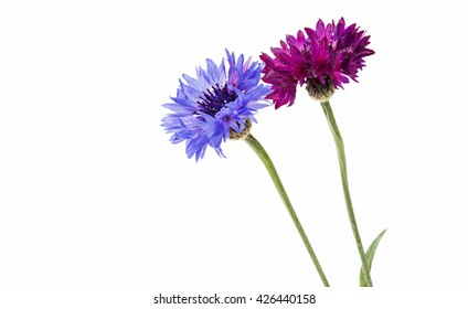 Flower of cornflower isolated on a white background