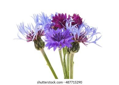 flower cornflower on white background