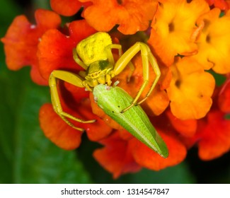 Flower crab spider with plant hopper as prey.