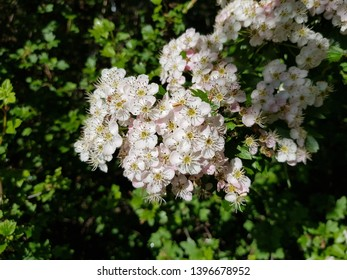 Flower of Crataegus commonly called hawthorn, quickthorn, thornapple, May-tree, whitethorn, or hawberry, is a genus of several hundred species of shrubs and trees in the family Rosaceae.
