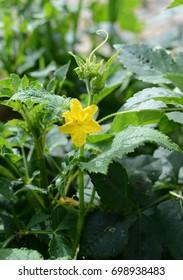 A flower of a cucumber.